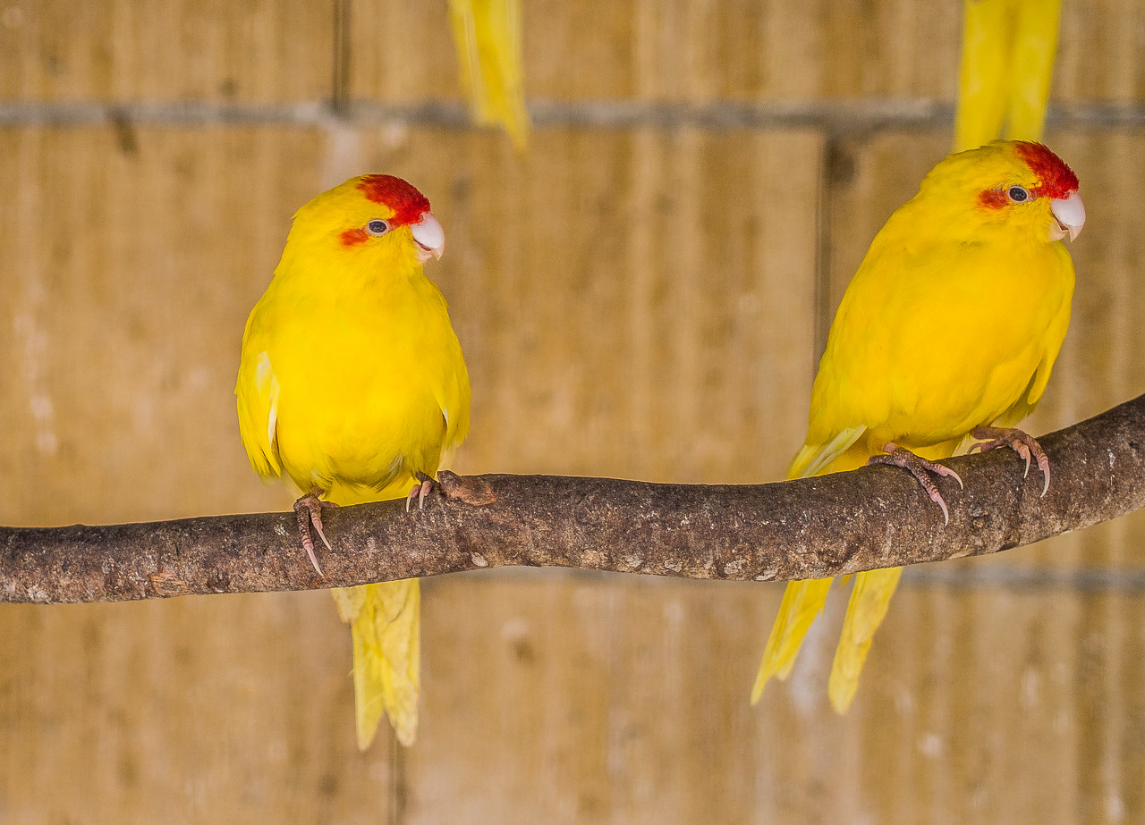 Two yellow parrots in Melios Zoo