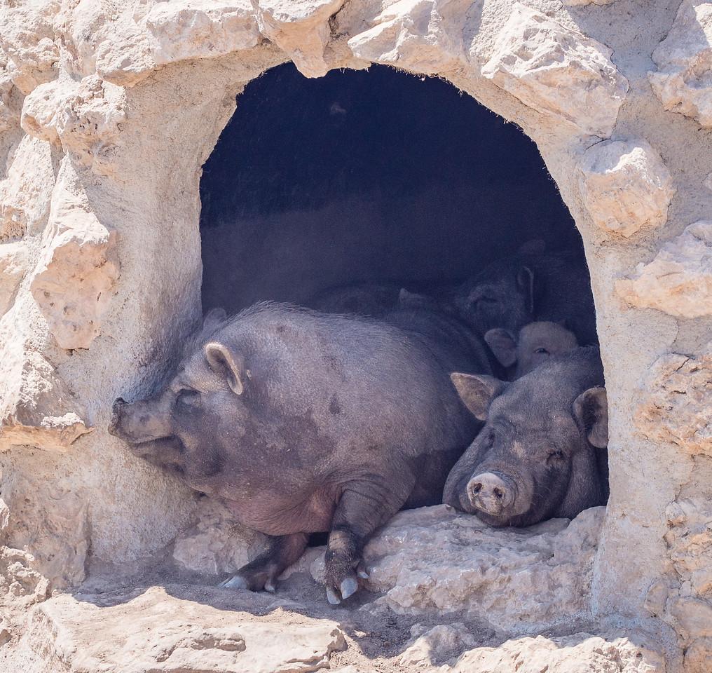Vietnam pigs in Melios Zoo
