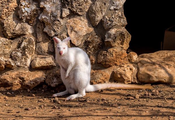 Albino kangaroo in Melios Zoo