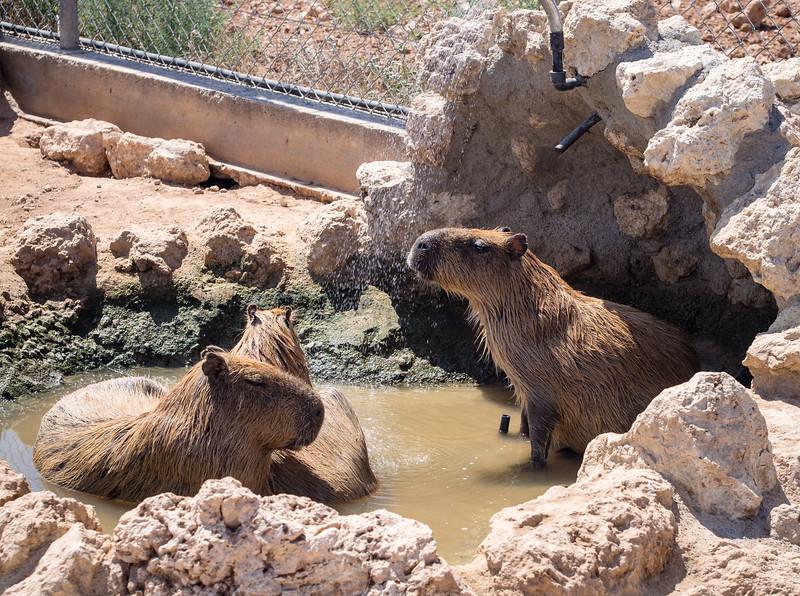 Capybaras in Melios Zoo