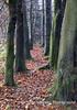 Autumn Beech Path Mendip Landscape