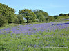 In late spring bluebells cover the slopes of Blackdown. Mendip Landscape