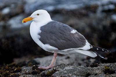 Mendocino Seagull
