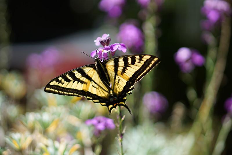 Swallowtail Butterfly In The Garden