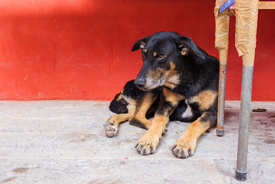 Hot and tired dog in the San Miguel De Allende Market, Mexico
