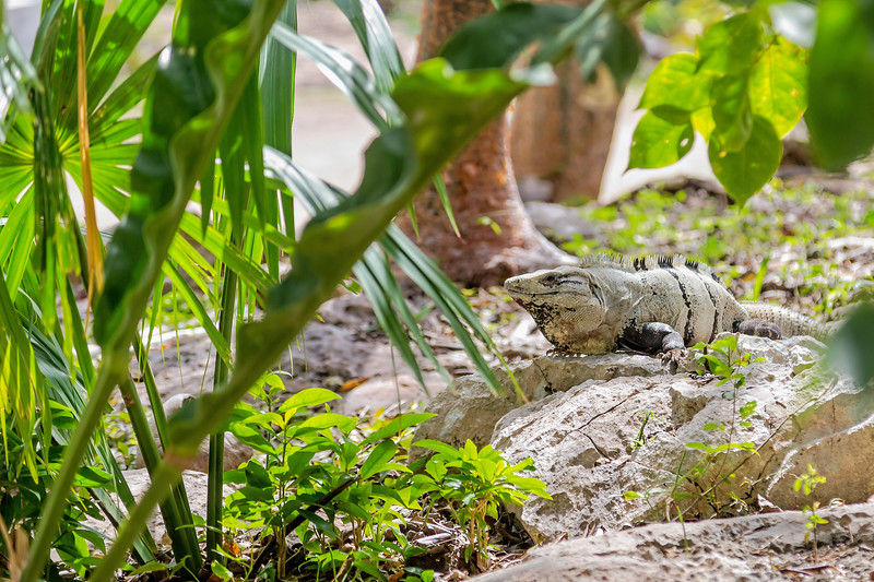 Iguanas: Guardians of Chichen Itza