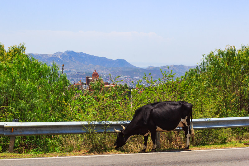 Cow grazing off the highway near Guanajanto City, Mexico