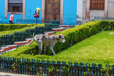 Dog urinating in the park in Guanajanto City, Mexico
