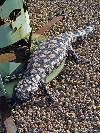 As close as we came to seeing a real Gila monster.