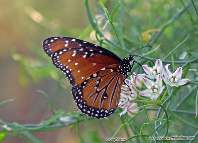 Butterfly at Gila bend
