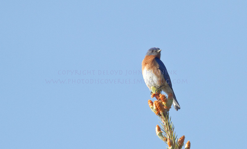 Eastern Bluebird...Still Looking...May 16, 2010-4