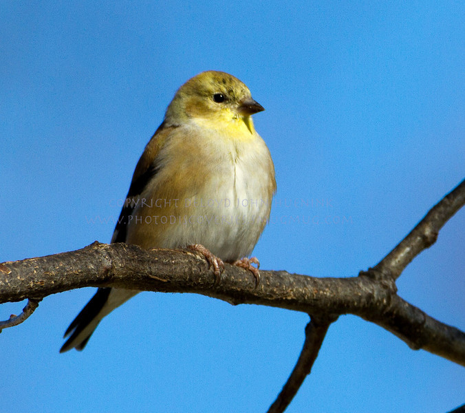 BACKYARD BIRDS-a male goldfinch waiting for his turn at the feeder...