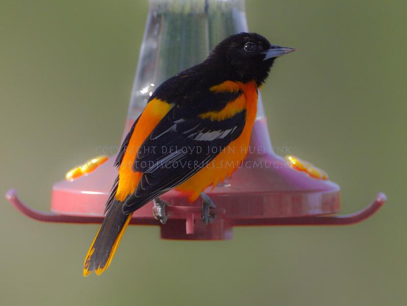 backyard birdsD. John HueninkMay 14, 2010