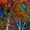 Towering Maple