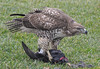 Juvenile Red-Tailed Hawk eating an American Coot