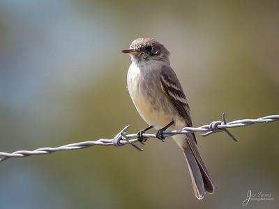 American Gray Flycatcher