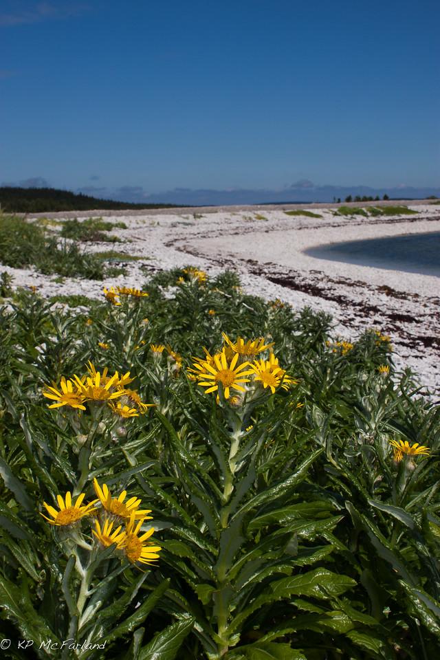 seaside ragwort, seabeach groundsel (Senecio pseudoarnica)
