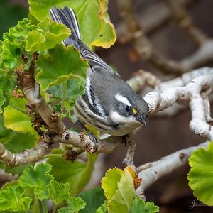 Black Throated Gray Warbler (female)