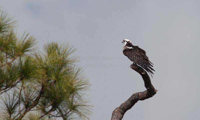 Osprey...a very old Osprey...