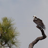 Osprey...a very old Osprey...