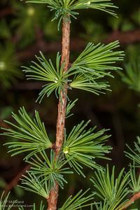 Tamarack (Larix laricina)