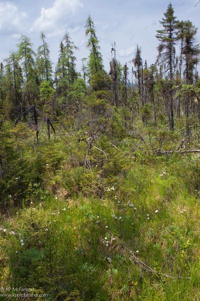 Mollie Beattie Bog, Black Spruce bog