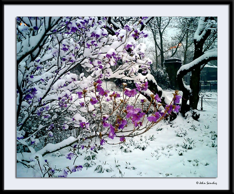 Purple Against the Snow (natural colors)