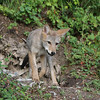 Coyote pup on a hill 1