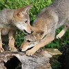 Two coyote pups playing on a log