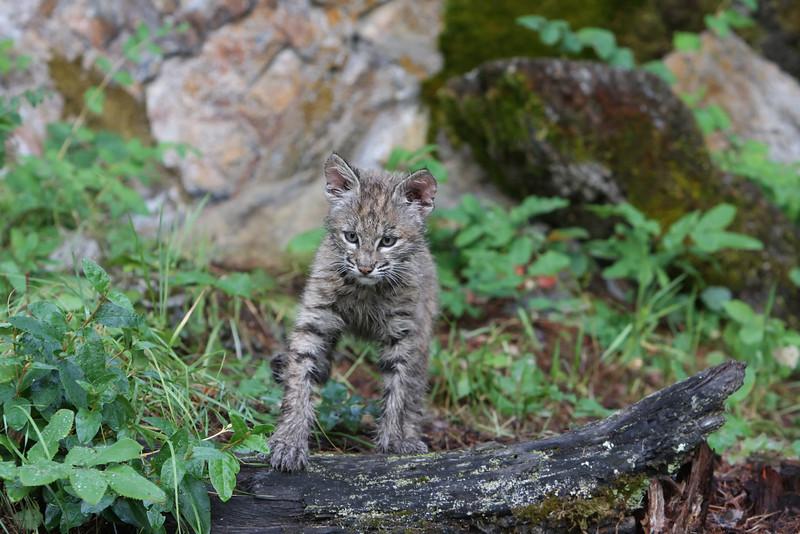 Bobcat kitten 2