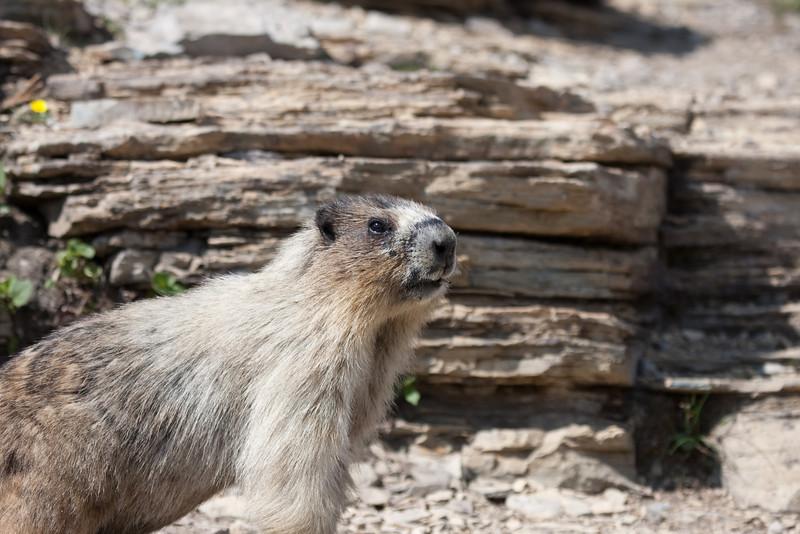 Marmot at Logan Pass