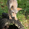 Coyote pup posing on a hollow log