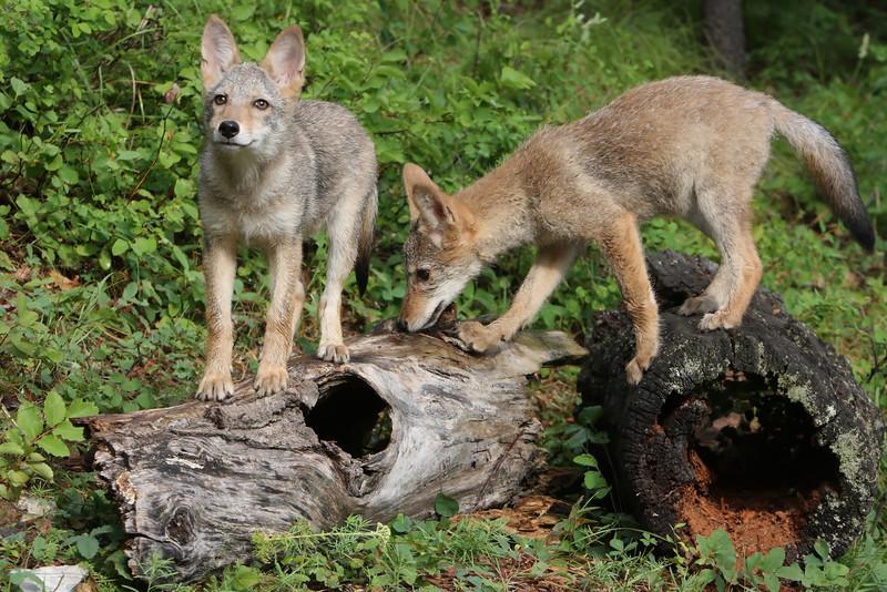 Coyote Puppies