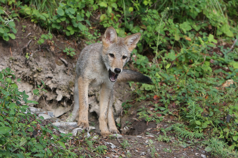 Coyote pup on a hill 3