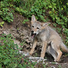 Coyote pup howling