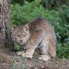 Canadian Lynx 1