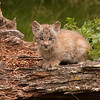 Canadian Lynx kitten sitting on a log 1