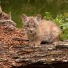 Canadian Lynx kitten sitting on a log 1