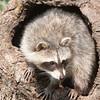 Baby Raccoon