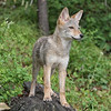 Coyote Pup