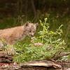 Canadian Lynx Kitten 1