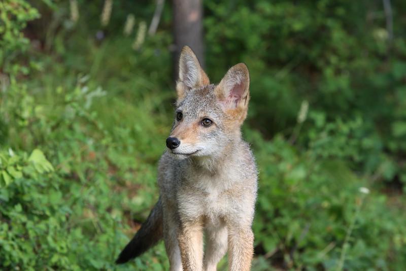 Cute coyote pup