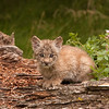 Canadian Lynx kitten sitting on a log 2
