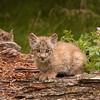 Canadian Lynx kitten sitting on a log 2