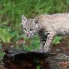 Bobcat kitten 1