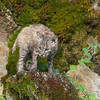 Bobcat kitten 3