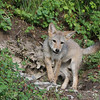 Coyote pup on a hill 2