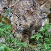 Bobcat 2