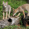 Coyote Puppies