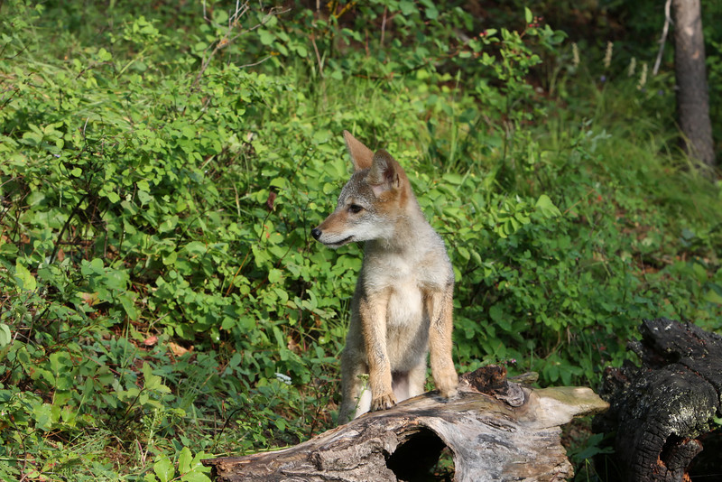 Side view of coyote pup sitting on log